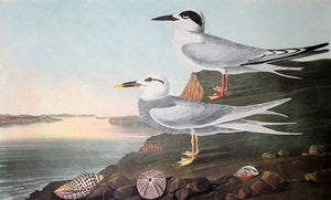 Closer view of Amsterdam Audubon Prints limited edition lithograph of pl. 409 Havell's and Trudeau's Tern