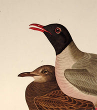 Load image into Gallery viewer, Detail view of Amsterdam Audubon Prints limited edition lithograph of pl. 314 Black Headed Gull