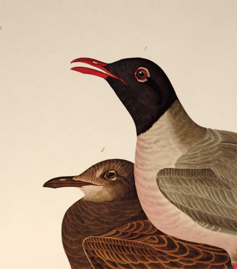 Detail view of Amsterdam Audubon Prints limited edition lithograph of pl. 314 Black Headed Gull