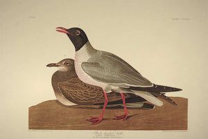 Full sheet view of Amsterdam Audubon Prints limited edition lithograph of pl. 314 Black Headed Gull