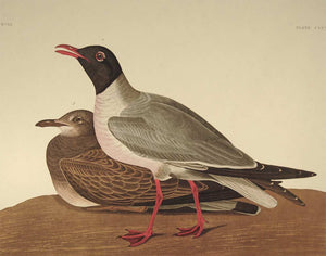 Closer view of Amsterdam Audubon Prints limited edition lithograph of pl. 314 Black Headed Gull