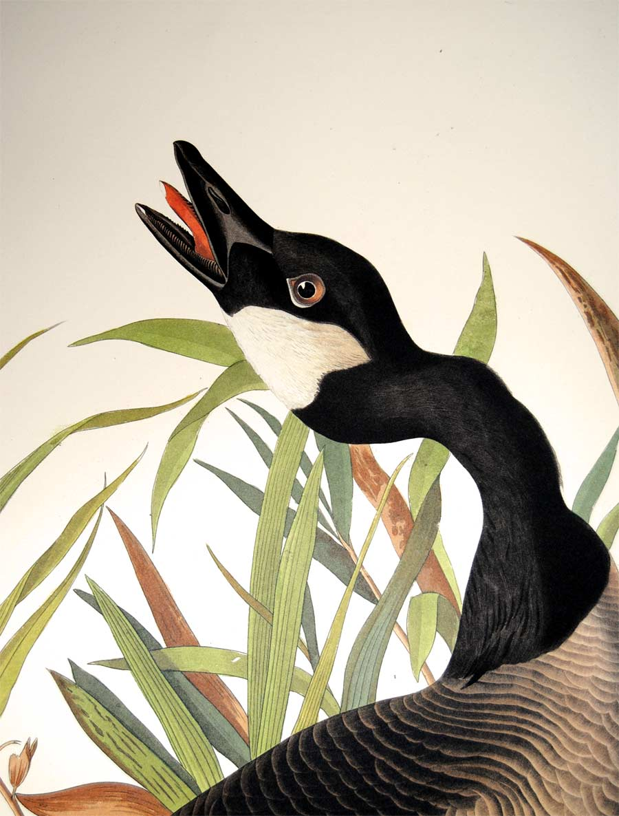 Detail of Abbeville Press Audubon limited edition lithograph of pl. 201 Canada Goose