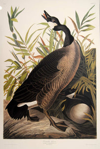 Full sheet view of Abbeville Press Audubon limited edition lithograph of pl. 201 Canada Goose
