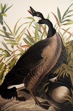 Load image into Gallery viewer, Closer view of Abbeville Press Audubon limited edition lithograph of pl. 201 Canada Goose