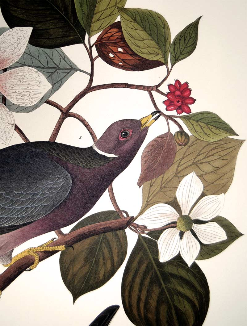 Detail of Abbeville Press Audubon limited edition lithograph of pl. 367 Band-Tail Pigeon