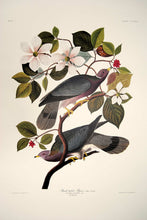 Load image into Gallery viewer, Full sheet view of Abbeville Press Audubon limited edition lithograph of pl. 367 Band-Tail Pigeon