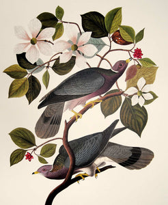 Closer view of Abbeville Press Audubon limited edition lithograph of pl. 367 Band-Tail Pigeon