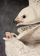 Load image into Gallery viewer, Detail of Abbeville Press Audubon limited edition lithograph of pl. 366 Iceland or Gyrfalcon