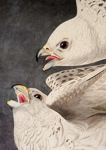 Detail of Abbeville Press Audubon limited edition lithograph of pl. 366 Iceland or Gyrfalcon