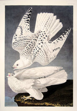 Load image into Gallery viewer, Full sheet view of Abbeville Press Audubon limited edition lithograph of pl. 366 Iceland or Gyrfalcon