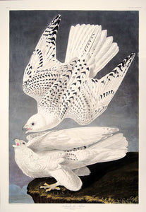 Full sheet view of Abbeville Press Audubon limited edition lithograph of pl. 366 Iceland or Gyrfalcon