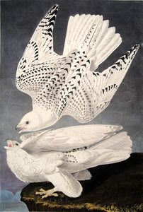Closer view of Abbeville Press Audubon limited edition lithograph of pl. 366 Iceland or Gyrfalcon