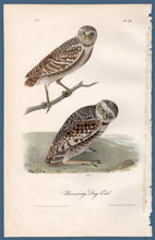 Load image into Gallery viewer, Full sheet view of Audubon Octavo Plate 31 Burrowing Day-Owl