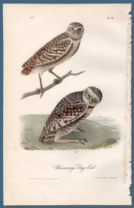 Full sheet view of Audubon Octavo Plate 31 Burrowing Day-Owl