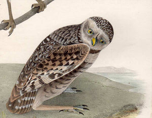 Detail view of Audubon Octavo Plate 31 Burrowing Day-Owl