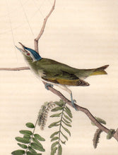 Load image into Gallery viewer, Detail view of Audubon Octavo Plate 243 Red-Eyed Vireo or Greenlet