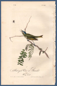 Full sheet view of Audubon Octavo Plate 243 Red-Eyed Vireo or Greenlet