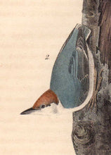 Load image into Gallery viewer, Detail of First Edition Audubon Octavo, Plate 249 Brown-Headed Nuthatch