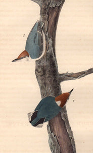 Detail of First Edition Audubon Octavo, Plate 249 Brown-Headed Nuthatch