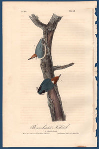 Full Sheet of First Edition Audubon Octavo, Plate 249 Brown-Headed Nuthatch
