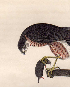 Detail view of Audubon Octavo First Edition Plate 25 Sharp-Shinned Hawk