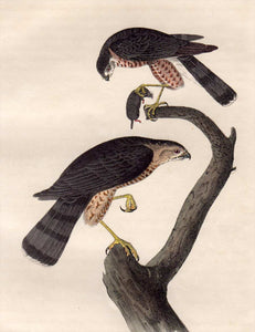 Closer view of Audubon Octavo First Edition Plate 25 Sharp-Shinned Hawk