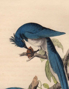 Detail of Audubon Octavo Plate 229 Columbia Magpie or Jay