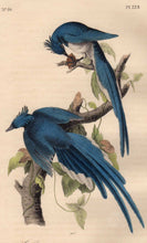 Load image into Gallery viewer, Closer View of Audubon Octavo Plate 229 Columbia Magpie or Jay