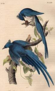 Closer View of Audubon Octavo Plate 229 Columbia Magpie or Jay