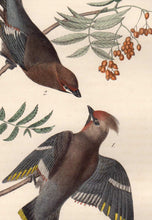 Load image into Gallery viewer, Detail of Audubon Octavo Plate 245 Black Throated Wax-Wing or Bohemian Chatterer