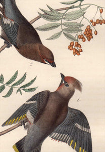 Detail of Audubon Octavo Plate 245 Black Throated Wax-Wing or Bohemian Chatterer
