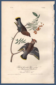 Full view of Audubon Octavo Plate 245 Black Throated Wax-Wing or Bohemian Chatterer