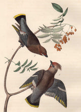 Load image into Gallery viewer, Closer View of Audubon Octavo Plate 245 Black Throated Wax-Wing or Bohemian Chatterer