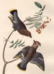 Closer View of Audubon Octavo Plate 245 Black Throated Wax-Wing or Bohemian Chatterer