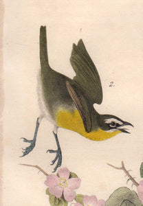 detail view of Audubon Octavo Plate 244 Yellow-Breasted Chat