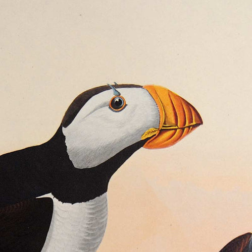 Detail view of Amsterdam Audubon Prints limited edition lithograph of pl. 293 Large Billed Puffin