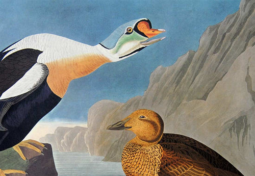 Detail view of Amsterdam Audubon limited edition lithograph of pl. 276 King Duck