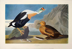 Full sheet view of Amsterdam Audubon limited edition lithograph of pl. 276 King Duck