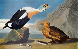 Closer view of Amsterdam Audubon limited edition lithograph of pl. 276 King Duck