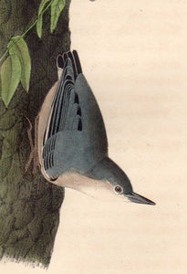 Detail view of 1840 First Edition Audubon Octavo, Plate 250 Californian Nuthatch
