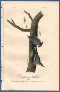 Full sheet view of 1840 First Edition Audubon Octavo, Plate 250 Californian Nuthatch