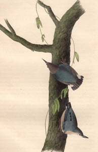 Closer view of 1840 First Edition Audubon Octavo, Plate 250 Californian Nuthatch