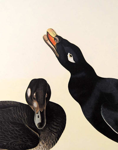 Detail view of Amsterdam Audubon Prints limited edition lithograph of pl. 247 Velvet Duck