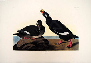 Full sheet view of Amsterdam Audubon Prints limited edition lithograph of pl. 247 Velvet Duck