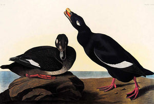 Closer view of Amsterdam Audubon Prints limited edition lithograph of pl. 247 Velvet Duck