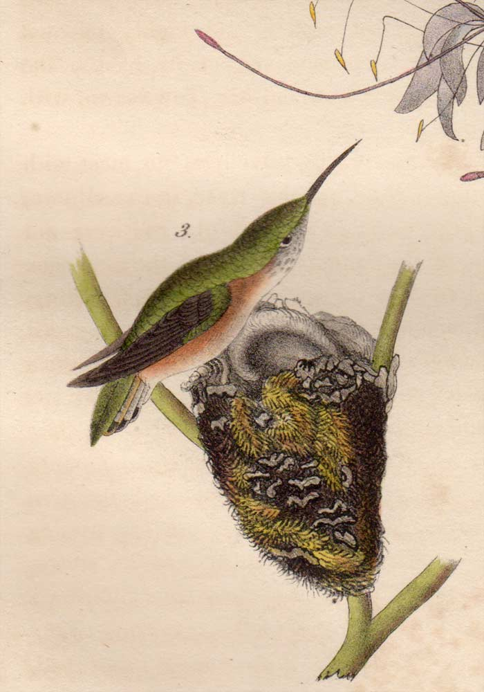 Detail of First Edition Audubon Octavo, Plate 254 Ruff-Necked Hummingbird