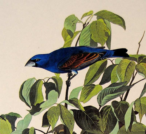 Detail view of Amsterdam Audubon Prints limited edition lithograph of pl. 122 Blue Grosbeak