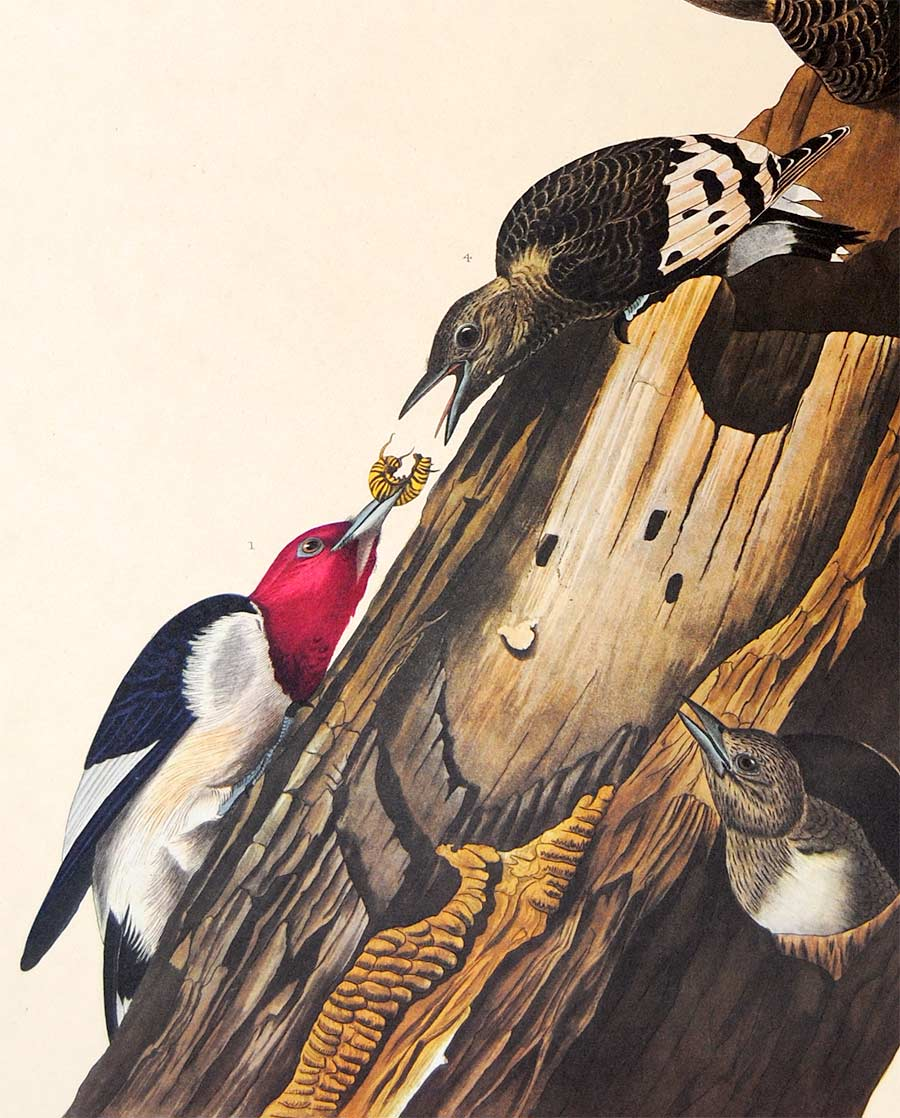 Detail view of Amsterdam Audubon limited edition lithograph of pl. 27 Red-Headed Woodpecker