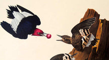 Load image into Gallery viewer, Detail view of Amsterdam Audubon limited edition lithograph of pl. 27 Red-Headed Woodpecker
