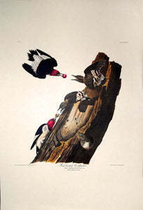Full sheet view of Amsterdam Audubon limited edition lithograph of pl. 27 Red-Headed Woodpecker